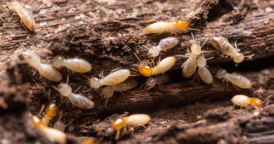 WDO Termite Inspection